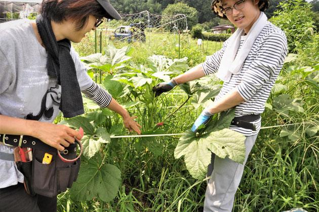 島オクラ 固定種 種取り 自然栽培