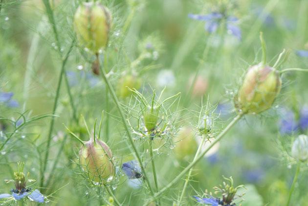 ブラッククミンの花。古代エジプトから珍重されてきた薬草です。眺めるだけで薬効がありそう。