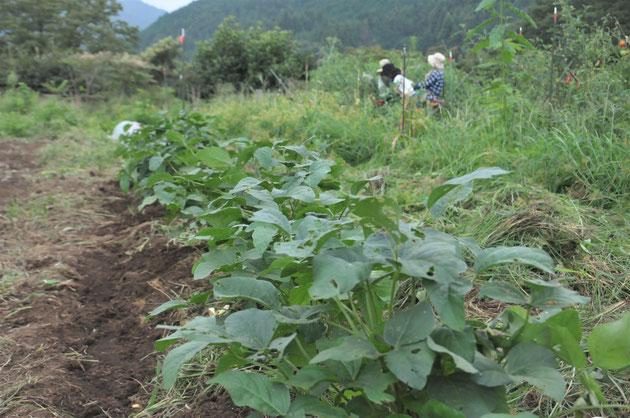 津久井在来大豆 固定種 自然栽培 体験農場 農業体験