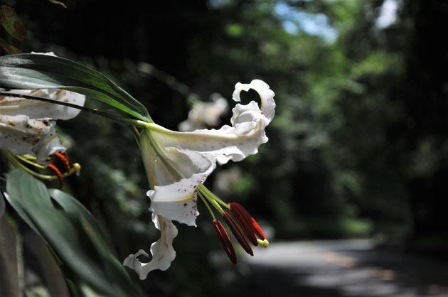 ヤマユリの花@相模湖・すどう農園の周辺