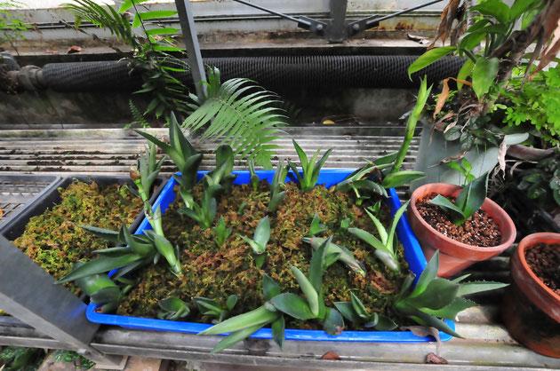 リュウゼツランのムカゴから芽生えた実生苗。むくむく大きく育つそうです。