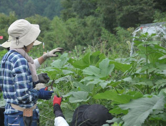島オクラ 在来種 種取り 自然栽培 農業体験 体験農場