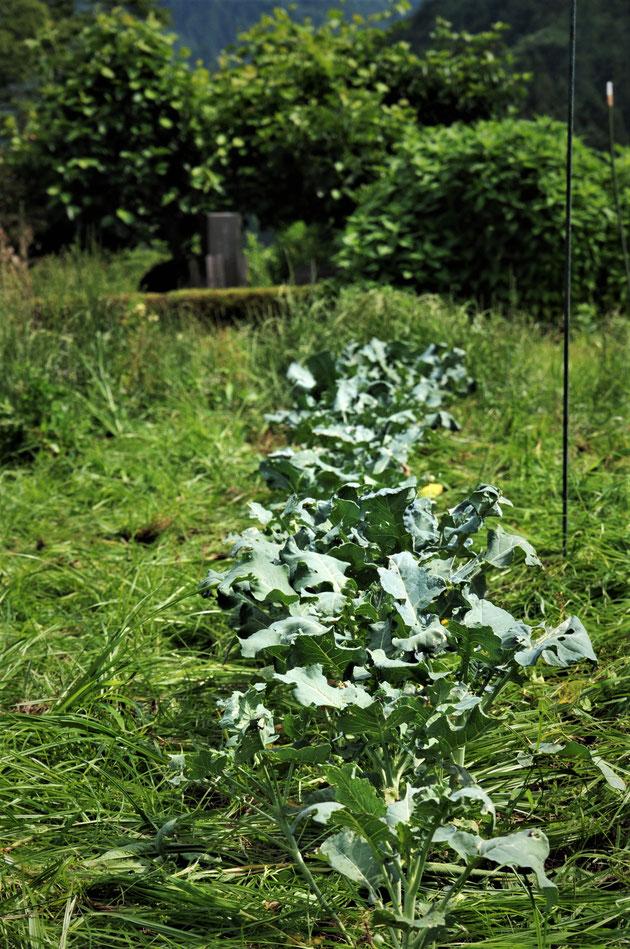 スーパーセル育苗のブロコリは虫にも暑さにも強いです