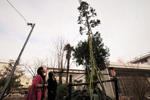 左の電柱よりもずっと高く伸びたリュウゼツラン。30年に一度の花を咲かせつつあるところです。