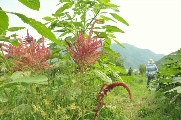 アマランス 自然栽培 農業体験 雑穀