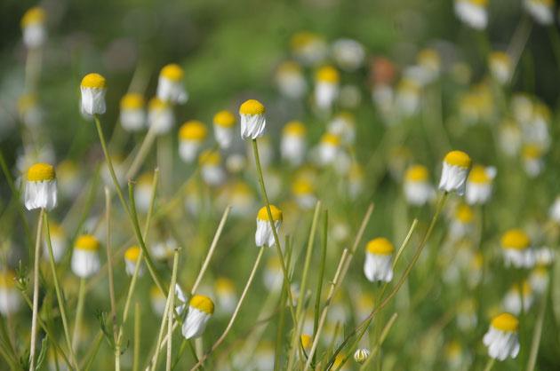 ジャーマン・カモミールは「すどう農園」のハーブ園にあります。5月のフレッシュな花を摘んで「講座・森のガーデン」や「さとやまハーバルライフ」の皆さんと一緒にいただきます。