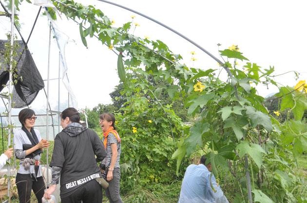 ヘチマ 食用 自然栽培 農業体験