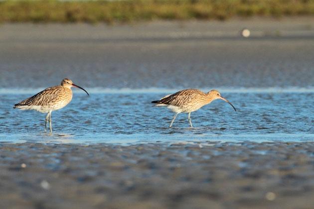 Deux courlis cendrés se nourrissant dans les courants de la baie de Somme