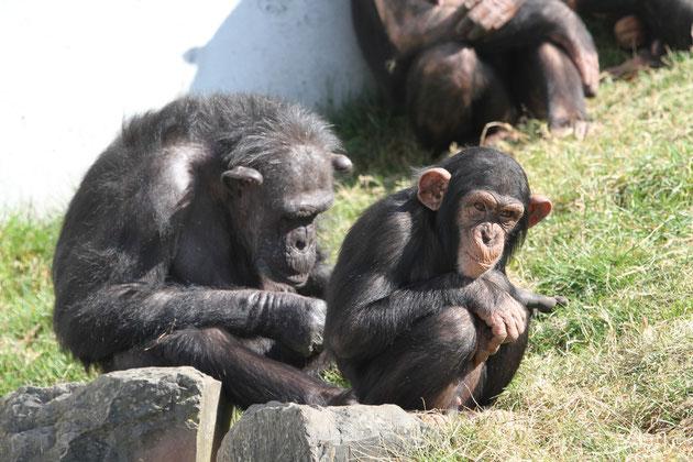 Schimpansen Walther Zoo Gossau