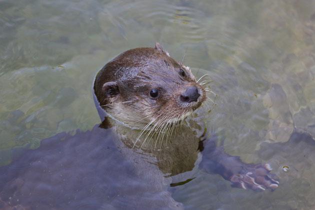 Fischotter Tierpark Goldau