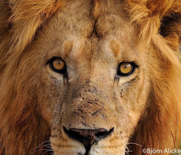 Ich beobachte dich genau! Masai Mara, Kenia