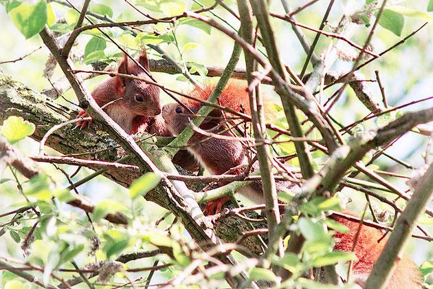 Junge Eichhörnchen im Baum