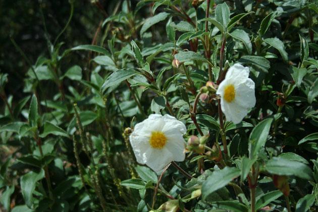 Flor de la Estepa