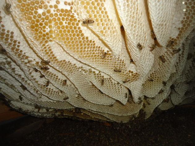 駆除前のミツバチの巣です。かなりデカいです。