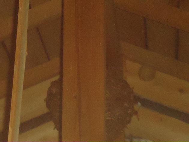 天井裏に作ったスズメバチの巣です。