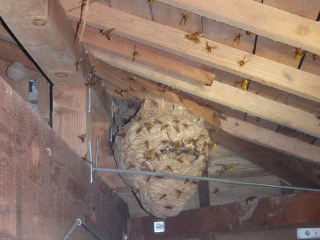 キイロスズメバチの巣、施工前