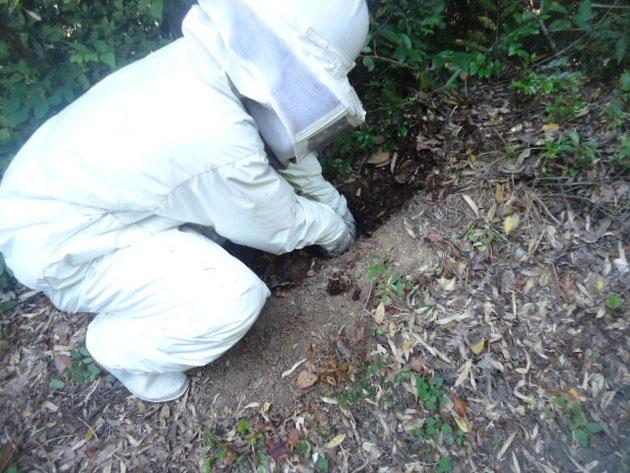 地面を掘って巣を回収します