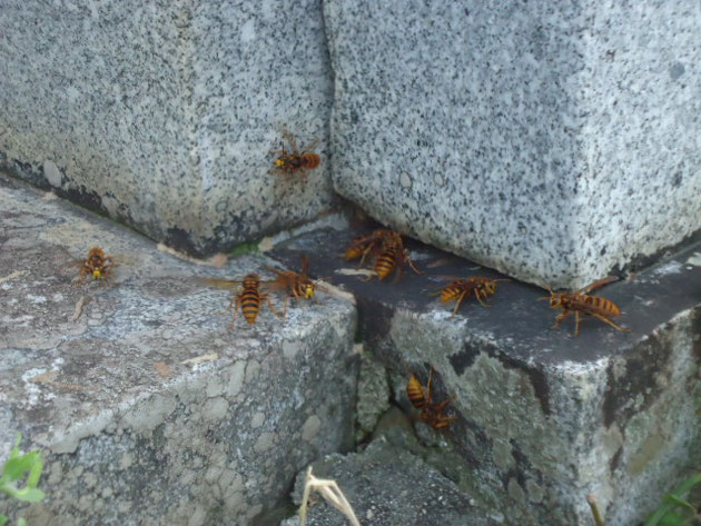この現場は墓石の中に巣を作っていました。