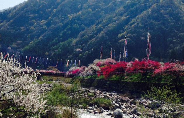 月川温泉郷につながる花桃と鯉のぼり