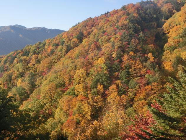 園原周辺1200m付近の紅葉。今年は赤色が大変美しい彩りです。