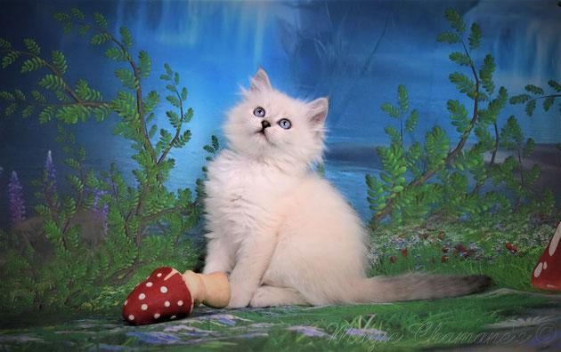 Chaton sibérien néva masquérade, silver, blue, chat poils longs, chaton disponible