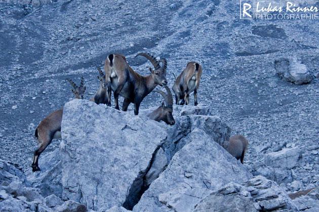 Steinböcke kurz vor der Bockkartscharte in den Allgäuer Alpen