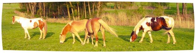 Reiten in der Uckermark - Pferde auf der Koppel in Luisenau