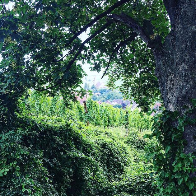 Le Heitzloch marque la limite supérieure du Grand Cru Rosacker, ici on observe un fossé matérialisant une faille majeure du champ de fracture de Ribeauvillé.