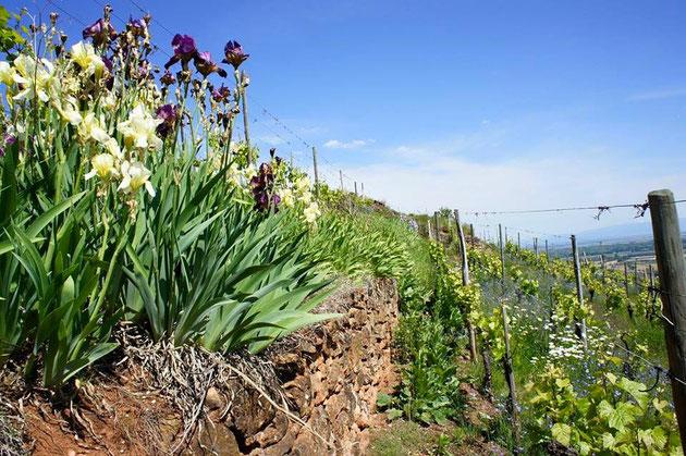 Chemins Bio en Alsace - des visites guidées de la vigne à la cave - Vers la dégustation géo-sensorielle accessible à toutes et tous.