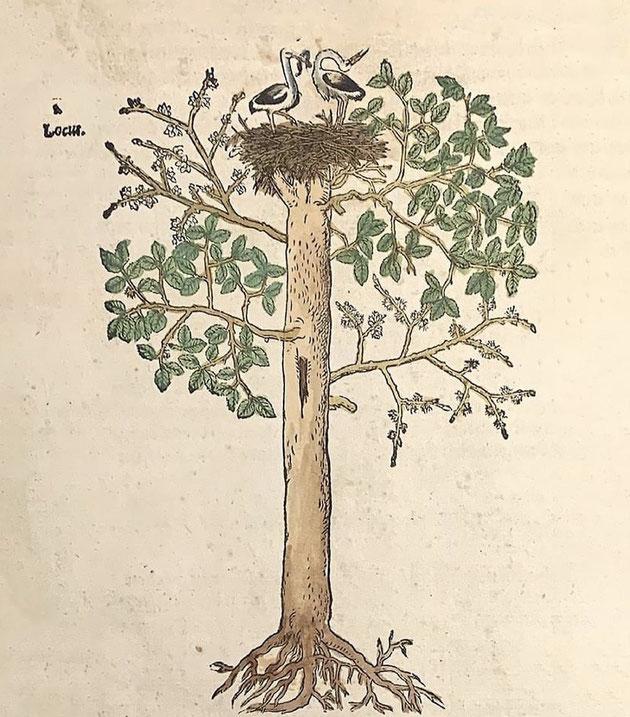 """Jérôme Bock (Hieronymus Bock) a publié le """"New Kreütter Büch"""" à Strasbourg en 1539. Si la première édition n'est pas illustrée, les suivantes le sont. Cette gravure sur bois paraît en 1565 et représente un nid de cigognes au sommet d'un orme."""
