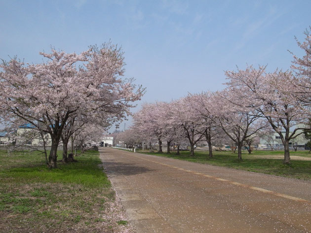 三和工場団地内:場内道路が何本もあり桜ロードとなっている 手入れもよく花も勢いのいい木々です