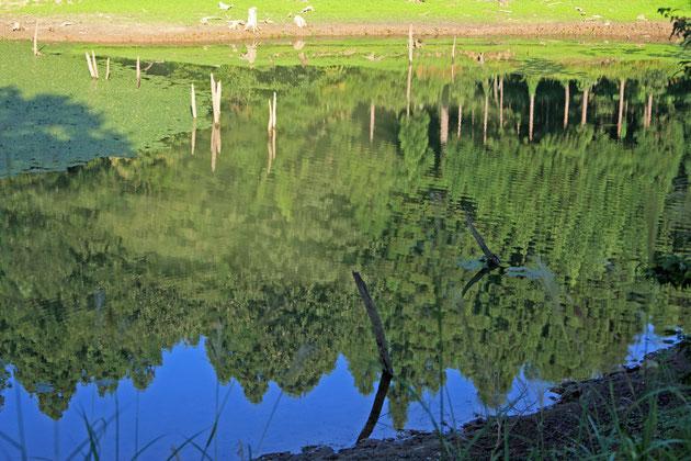 水に映る 静かな水面に木々の緑が浮かびあがる(大池いこいの森)