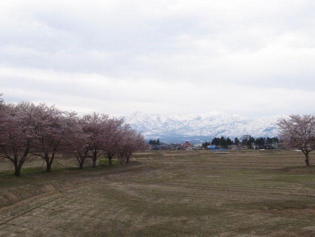 上田島:桜並木ここからも妙高がみてる 右隅の一本は昔時の記念碑桜