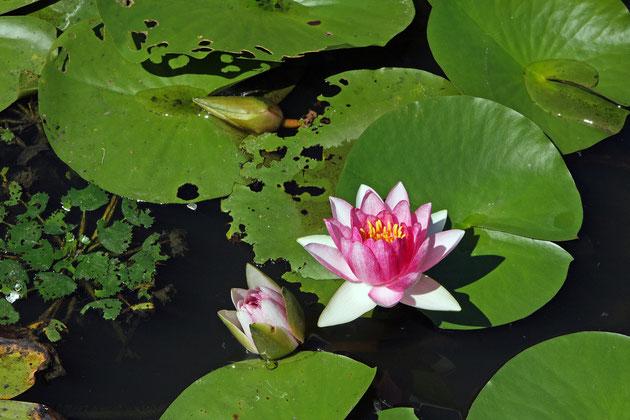 水面花 陽光を受け、静かに花を咲かせている光景に見とれる(上越・山間)
