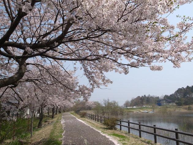 長峰池:池を回る散歩道は花びら道路となっていて池と桜が風になびく