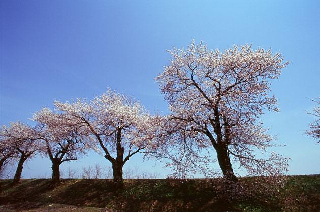 飯田川堤:桜は毎年の豪雪で枝折れがあり今年も心配ですね駐車場より堤の散歩はとても気持ちのいいもんです