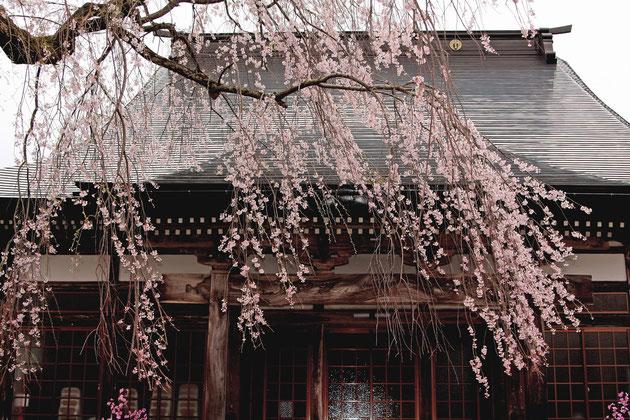 しだれ桜 風雪に耐えた桜花は、人々を魅了する(栄恩寺)