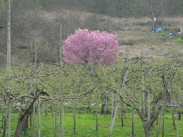 リンゴ畑に八重桜が一本カラーバランスにうっとり:飯山小佐原