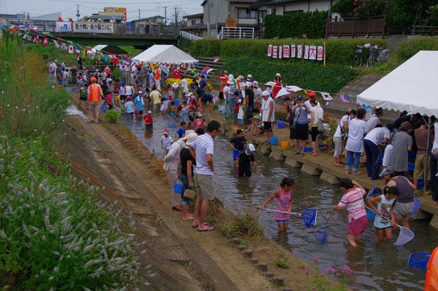 青田川の鯉すくい 大人も子供も入り乱れ