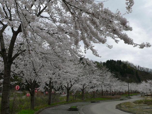 安塚リバーサイド:桜はもちろん川に架かる橋や街灯にも特徴があります 少し長めの散歩に如何ですか