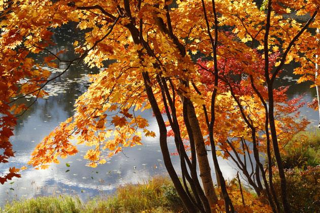 紅葉 美しく染まった紅葉につつまれ、我を忘れる(志賀高原)