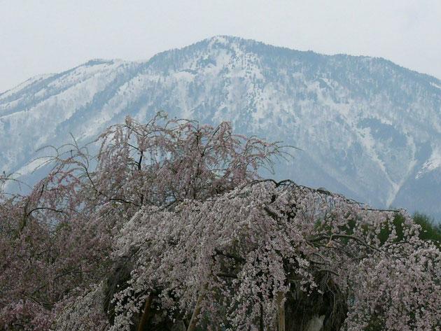 黒姫山が背後にドォーンと迫る閑貞桜 先代の隣に大きく成長しました:信濃町原閑貞桜