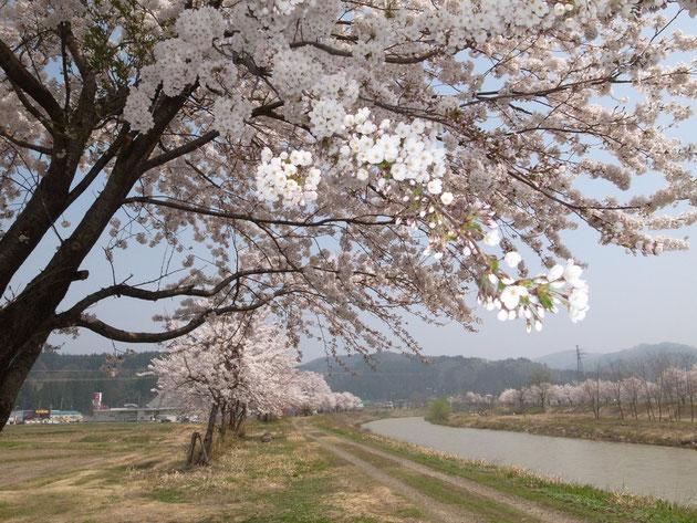 保倉川沿い長走:253号を走ると桜並木が長く続くのが見られます サイクリングにもいい 所所で桜のシャワー浴びてください