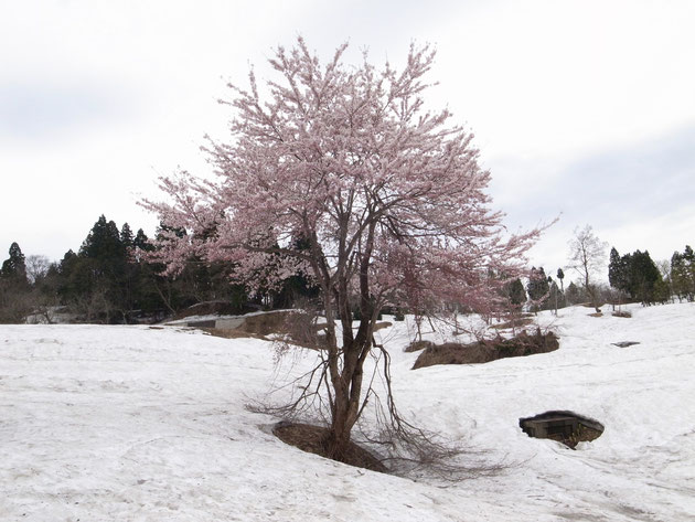 筒方民家裏:残雪多い中満開をむかえる 撮影のとき所有者に一声かけてください