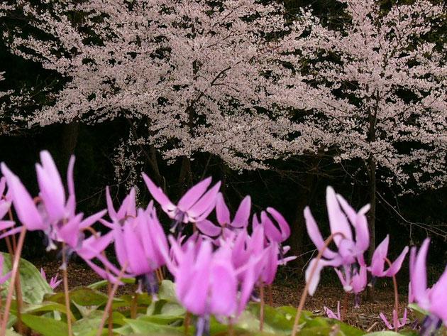 斐田観音山:桜とカタクリの饗宴 同時に咲くのは数年に一度