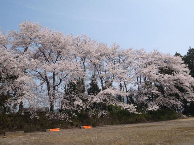 三和区末野:国道まで桜吹雪が舞う ゲートボール場がありグッドスコアが出ます