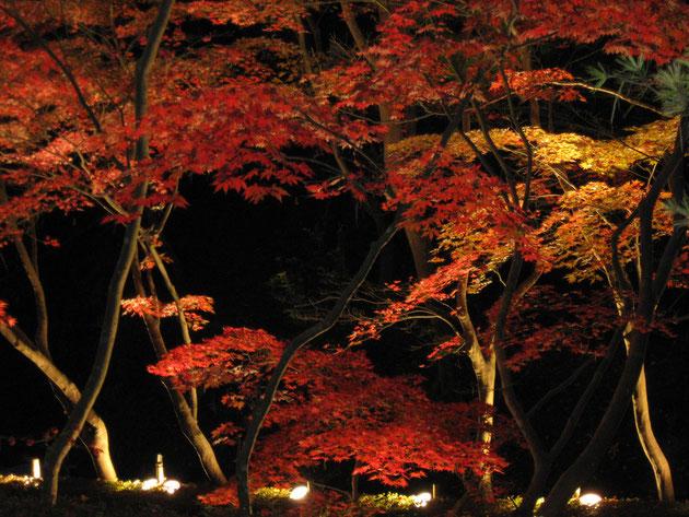秋の色彩 暗闇にライトアップされた紅葉が幻想的な風景となる(柏崎・松雲山荘)