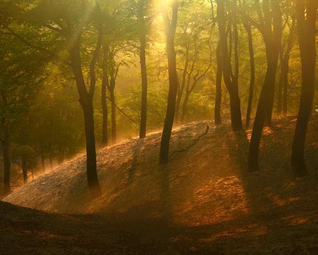 ブナの目覚め 逆光の春陽により、しああせ色に輝くブナ林