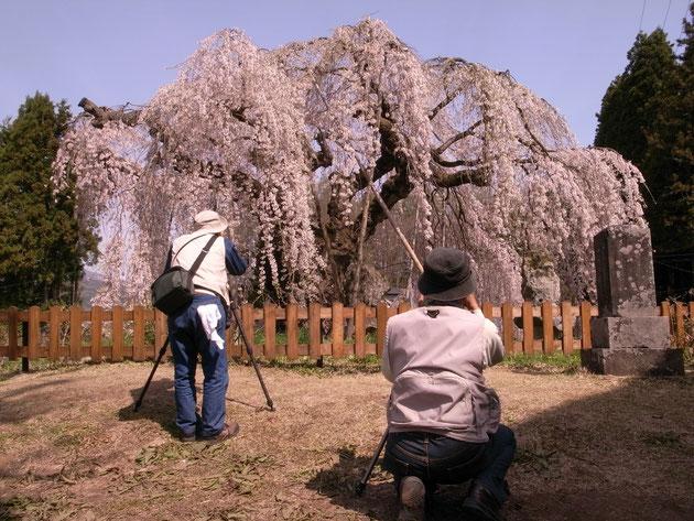 この枝垂れ桜はカメラマンの聖地?花も誇らしげに風にそよぎます:飯縄町袖ノ山