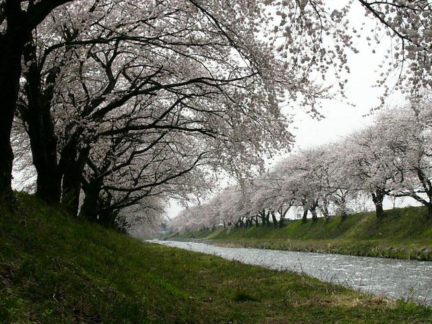 両岸に咲く桜は高速道からもよく見える川風に寄せられるようにカモメもやってくる:北陸道朝日町小川